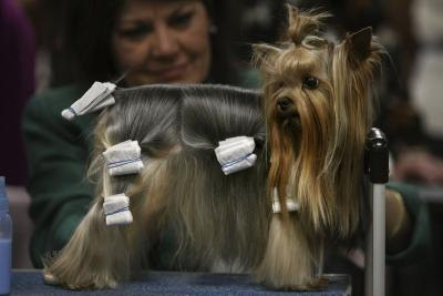 Show dogs learn very young so they're comfortable with grooming when hair gets long.