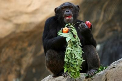 chimpanzee eating apples