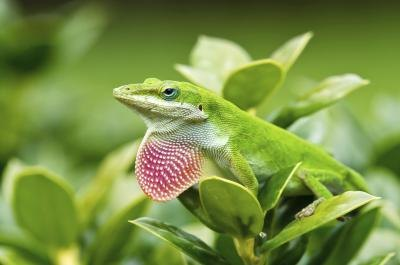 the northern green Anole can grow to 8 inches