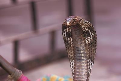 King cobra snakes can lift up to one-third of their body off the ground and still attach their prey.