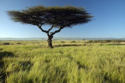 The acacia tree's adaptations allow it to survive in the tropical savanna.