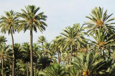 Date palms bearing yellow fruit.