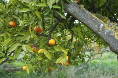 Sooty mold may grow on your citrus trees.