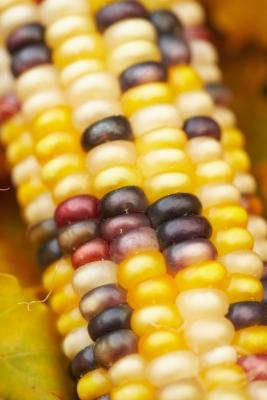 Plum and yellow tones can be found in natural items like on ornamental corn.