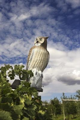 Fake owls may temporarily scare prey animals.