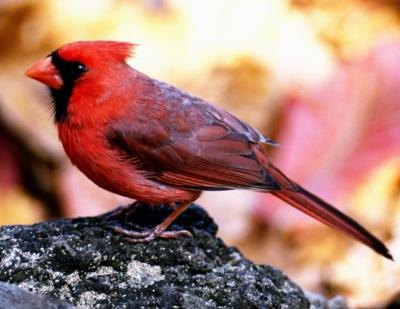 The male cardinal's bright red coat is unmistakable.