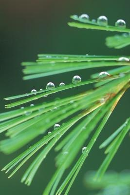 The waxy covering of the pine needle is flammable, helping fire eliminate its competition.