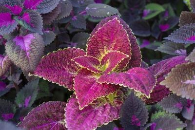 The purple leaves of coleus add a royal touch.