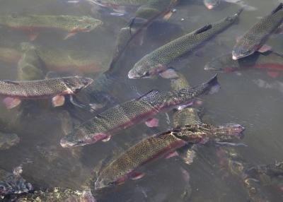 Freshwater trout beneath the surface of water
