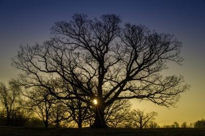 Silhouette of White Oak tree.