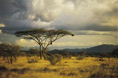 Acacia trees are found in the African savanna.