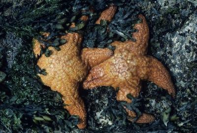 Starfish with algae.