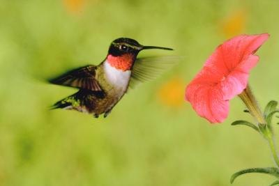 The hummingbird's rapid wing speed and darting movements are unmistakable.