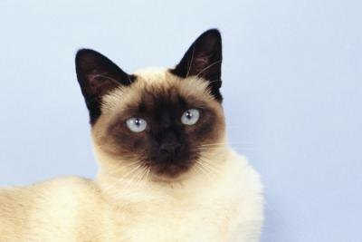 Some people think Siamese cats behavior similarly to canines.