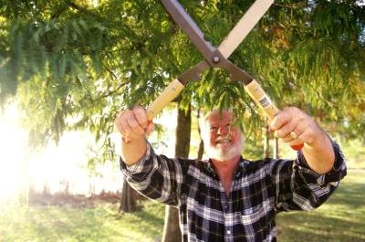 A man trims a pine branch with clippers.