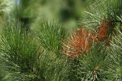 Pine needles are arranged in a manner unique among conifers.