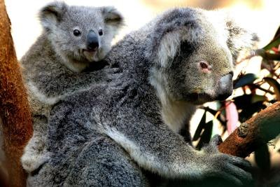 koala in tree with joey on back