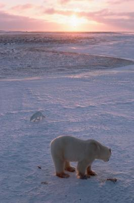 The polar bear and Arctic fox are two residents of the tundra.