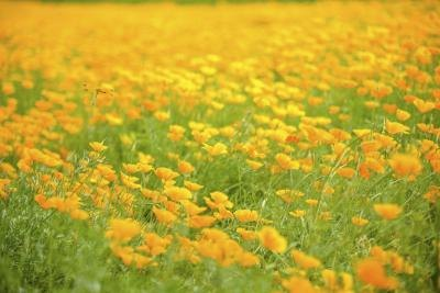 What does poppy flower signify with pictures ehow - Yellow poppy flower meaning ...