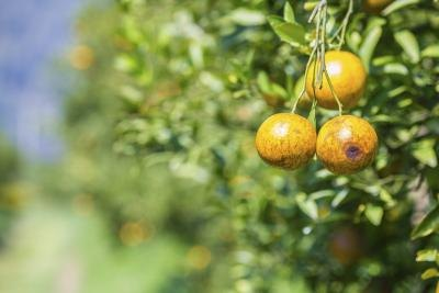 Clementines are evergreen trees.
