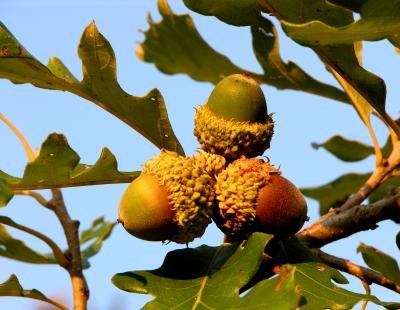The acorns and leaves of a bur oak