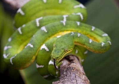 Emerald Tree Boa in tree.