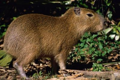 The  capybara feeds on forest grasses and water plants.