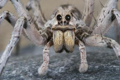 The wolf spider can be mistaken for a tarantula.