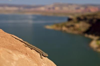 a whiptail lizard in the sun