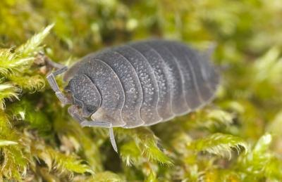 How To Get Rid Of Rolly Pollies With Pictures Ehow