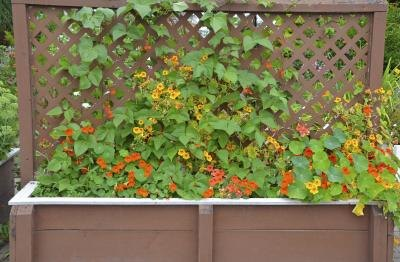 Nasturtium vines growing up a wooden trellis.