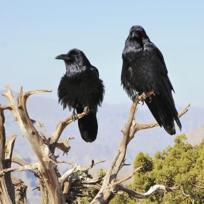 Two crows perched in a tree