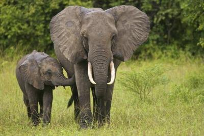 African elephants are hunted for their tusks and meat.