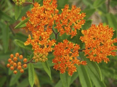 Nectar-rich butterfly weed gleams with long-lasting color.