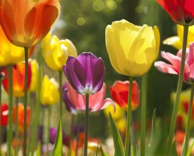 Tulips are relatively easy to care for in flower gardens.