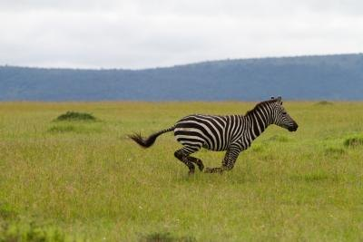 Zebras may reach speeds of 40 mph.