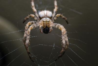A close-up of an orb spider on a web.