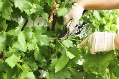 Woman pruning grapes