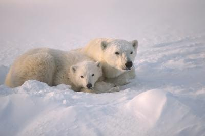 Polar bear and cub in snow bank