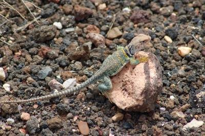 the eastern collared lizard can reach up to one foot in length