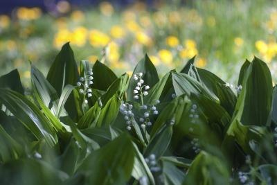 Lily of the Valley in a garden.