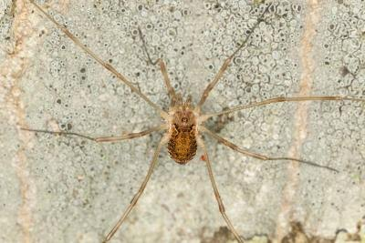 Daddy Longlegs spiders are found mostly in warehouses, cellars, and barns.