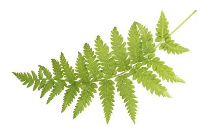 Green fern leaf.