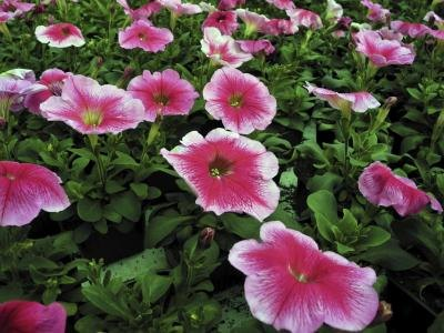Pink petunias growing outside.