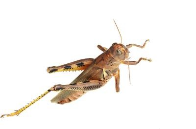 Brown grasshopper.