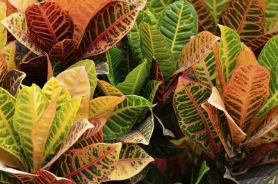 Colorful croton plants with red, green, and yellow leaves.