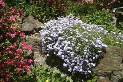 Pink and pale blue creeping phlox grow in a rock garden.