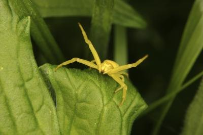 The crab spider can alter it's color to camaflouge itself in it's surroundings.