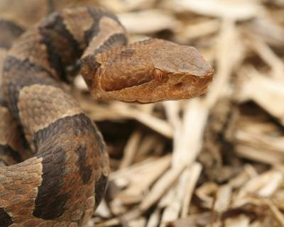 Copperhead snakes are identifiable by their narrow necks and wide heads.