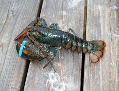 Lobster caught near Canada in the North Atlantic Ocean